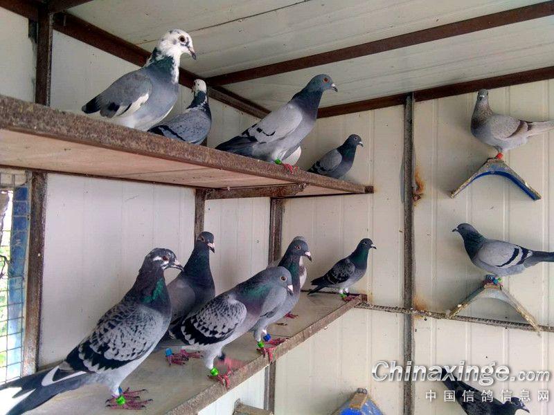 鸽窝日常随拍 带你看看我的鸽